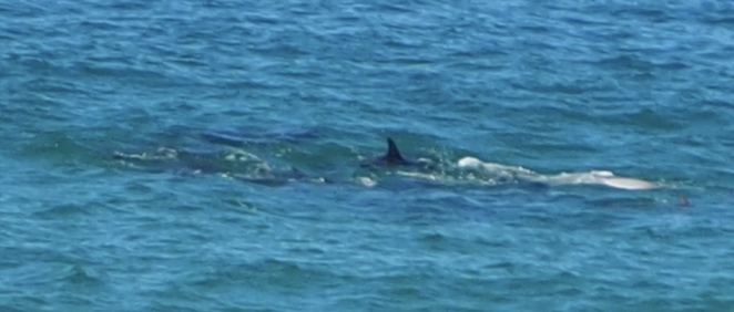 dolphins, Hastings Point, surfing,