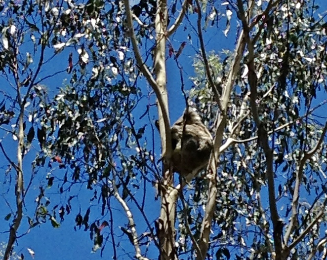 koalas in the canopy, tidbinbilla nature reserve, canberra, animal tours, native animals, koalas in the wild, explore program, ACT,