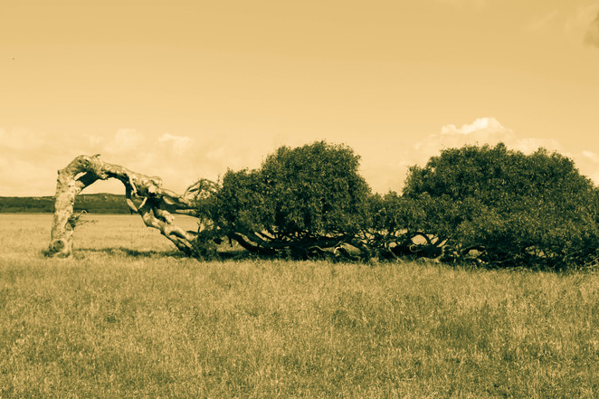 Leaning Tree Greenough