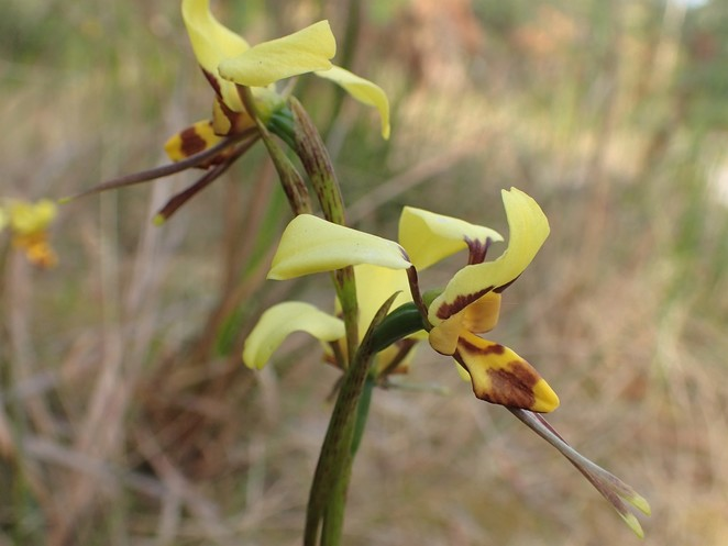 native orchids wildflowers