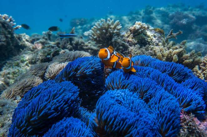 nemo, clownfish, great barrier reef, Normanby National Park Island, Frankland Island, National Parks in Cairns, Frankland Islands reef and river cruises, things to do near Cairns
