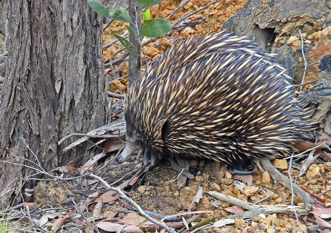 South Australian wildlife, South Australian tourism, Deep Creek Conservation Park, echidna