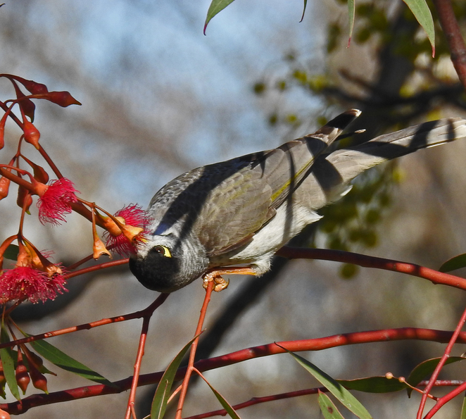 South Australian wildlife, South Australian tourism, Wildlife photography Wildlife stories, Sri Chinmoy, parrots, Adelaide city, noisy miner feeding