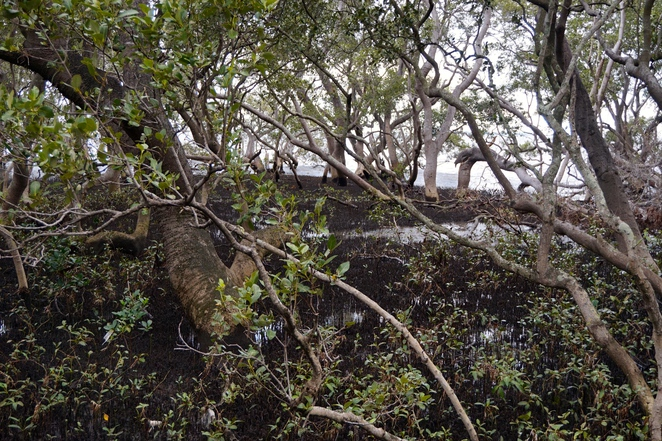 The Grey Mangroves