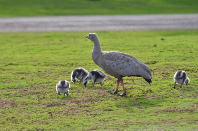 The halo effect on mum and chicks