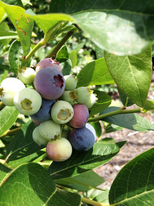 10 Berry Farms To Visit In Summer Melbourne