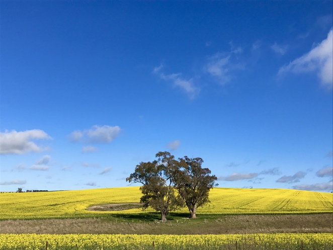 Canola, the canola trail, hilltops region, Riverina, country drives near Canberra, scenic drives near Canberra, where to see canola near Canberra, things to do near Canberra