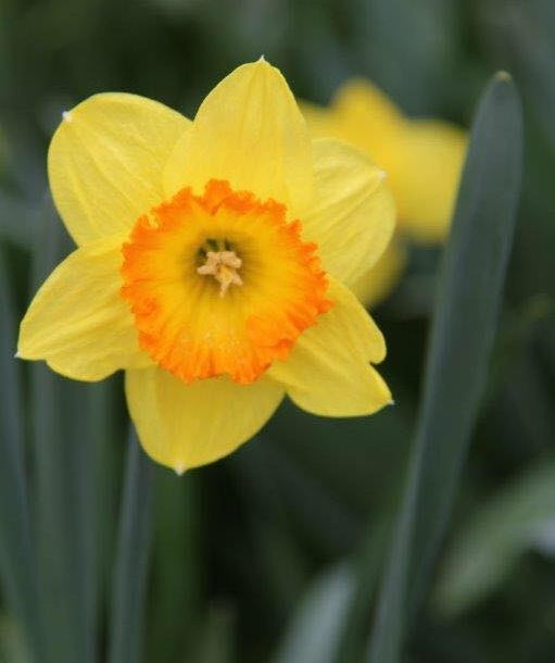 daffodils,delightful,at,Rydal