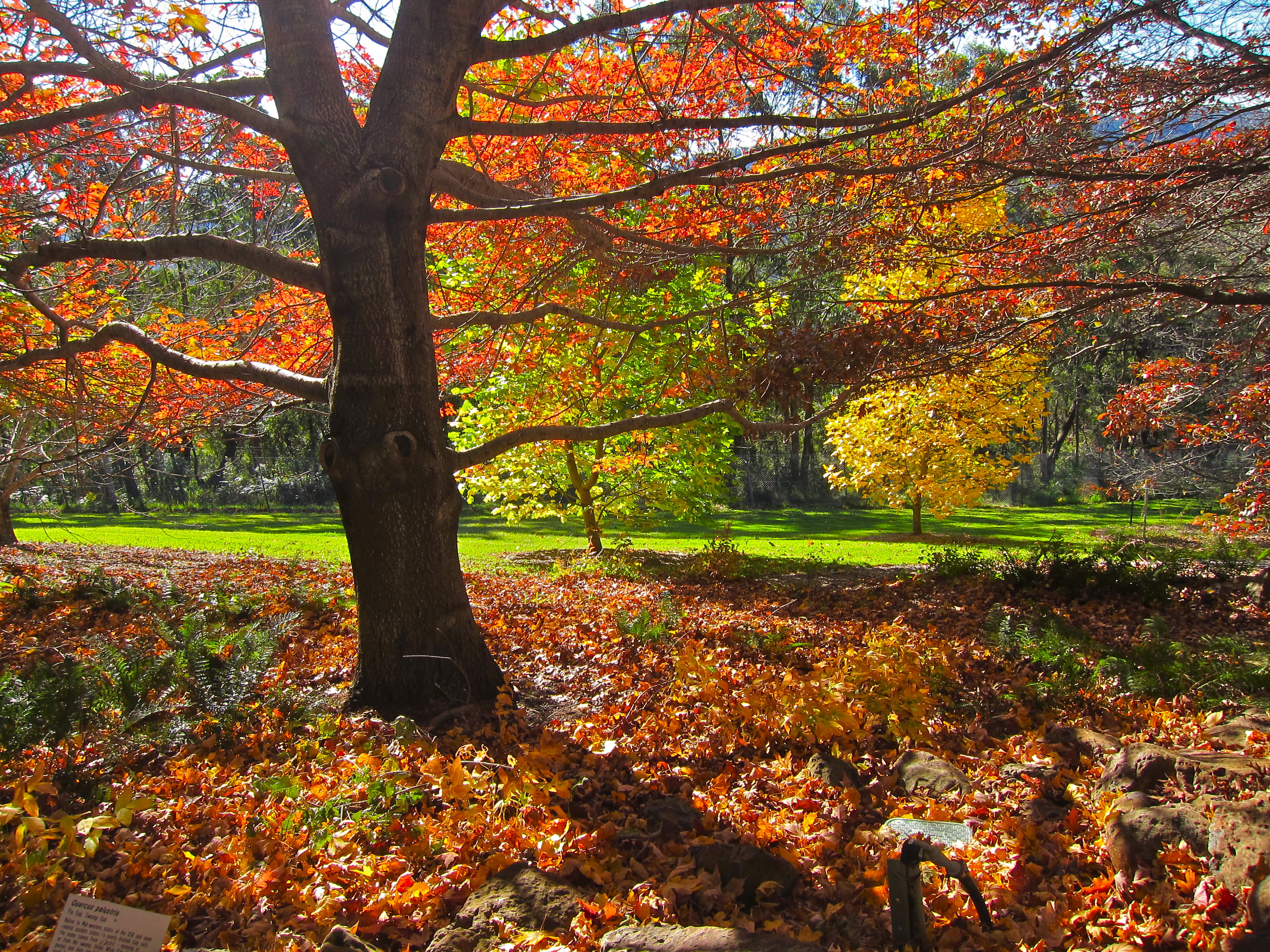 where to see the best autumn tree displays in the blue mountains