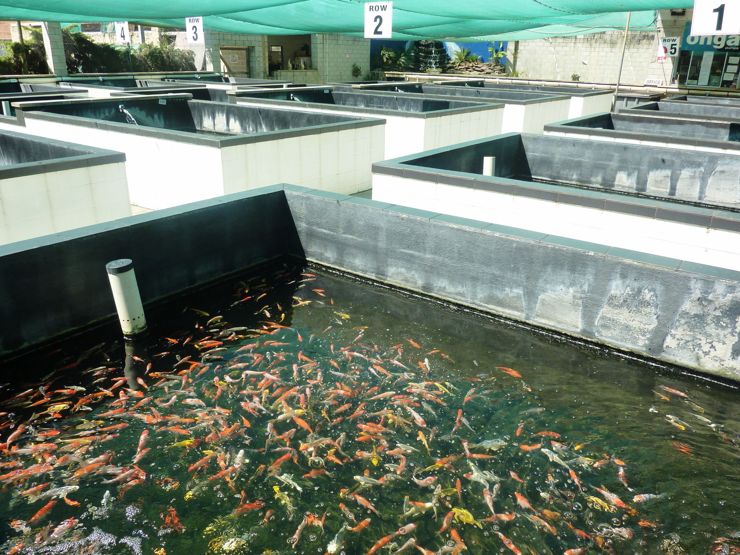 The australian koi farm sydney for Koi carp farm