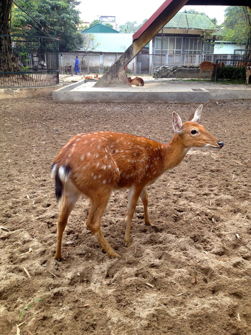 Sitka Deer at Hanoi Zoo © JP Mundy 2014