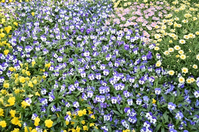 Spring flowers, daisy, jade jackson photography, cornflowers, blue and yellow flowers