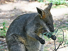swamp wallaby, the basin, native animals, sightseeing