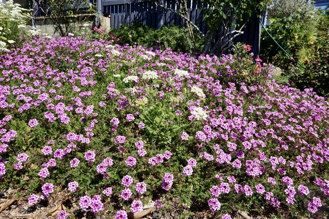 The verbena plants as ground cover