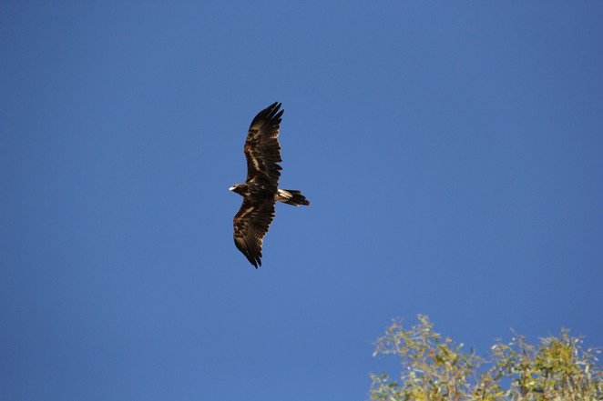 Wedgetail eagle circling at Laanecoorie Reservoir.