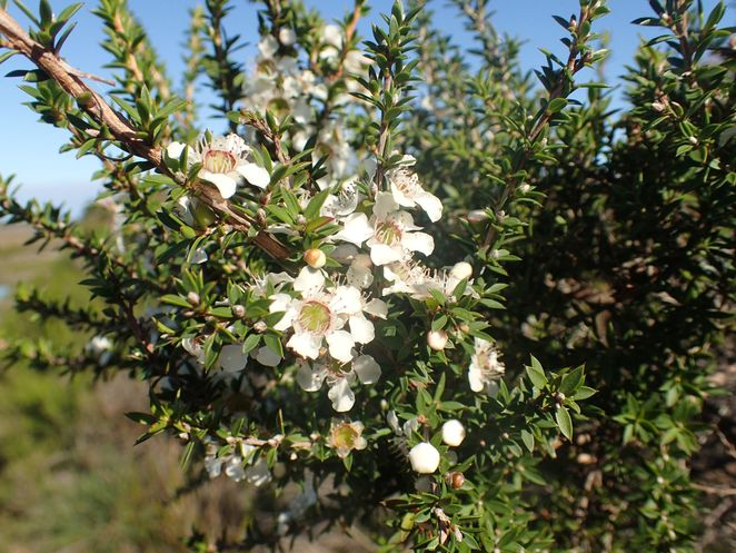 wonthaggi, beach, heathland, walks, south gippsland, wildflowers