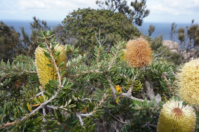 Banksia along the track