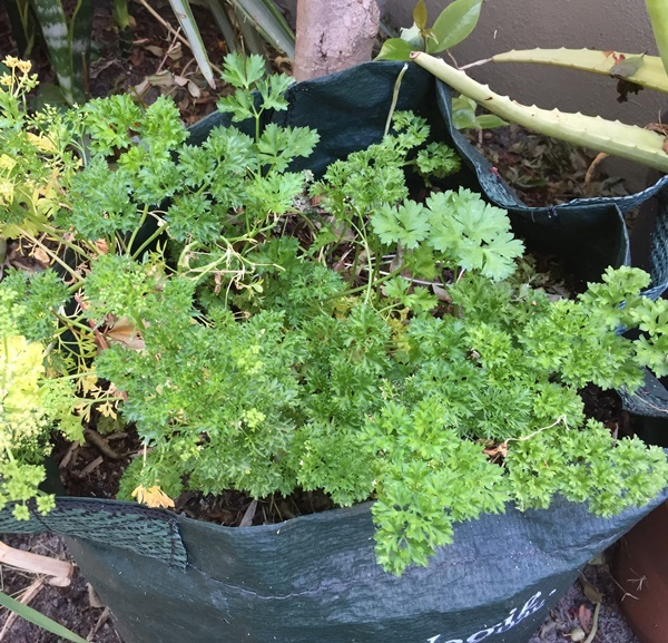 growing,parsley