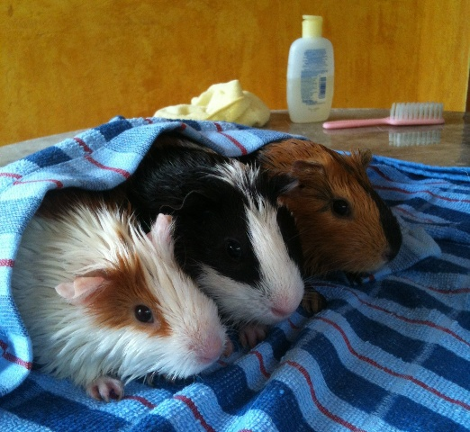 Guinea pig, nambour, sunshine coast, cavy, club, show, event, may