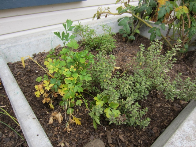 herbs, garden, parsley, thyme, plant