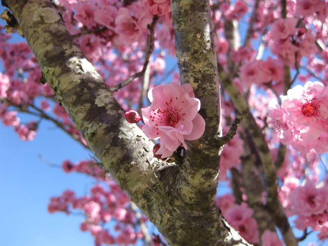 pink cherry blossoms flowers close up