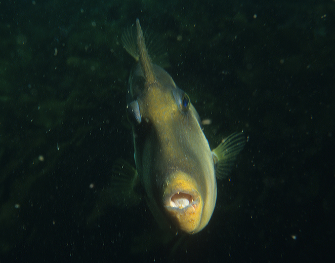 Second Valley SA, South Australian wildlife, South Australian tourism, Fleurieu Peninsula, wildlife photography, underwater photography, snorkelling, leatherjacket fish