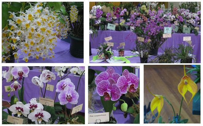 Toowoomba Orchid Show variety
