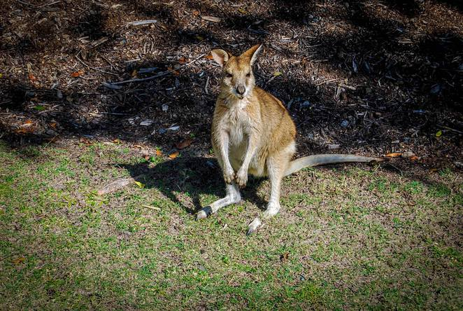Wallabies, Couran Cove Island Resort, South Stradbroke Island, day trip, resort, activities, adventure