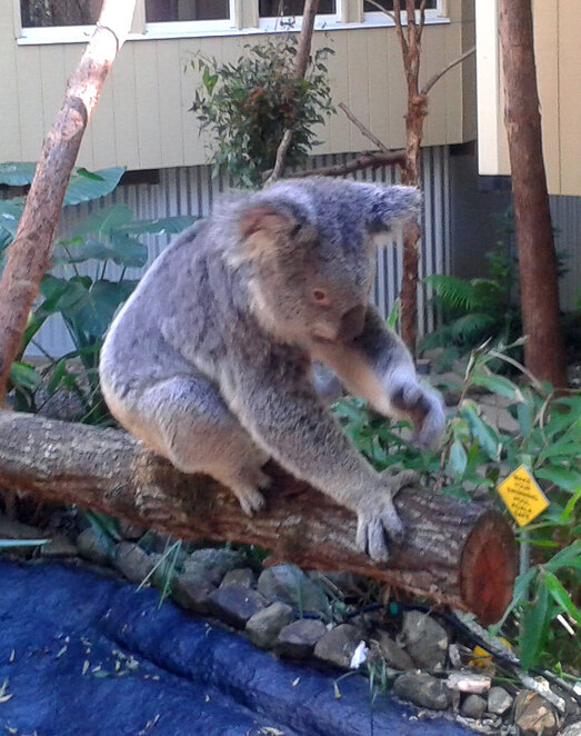 Getting up close and personal with a koala at Daisy Hill's little zoo