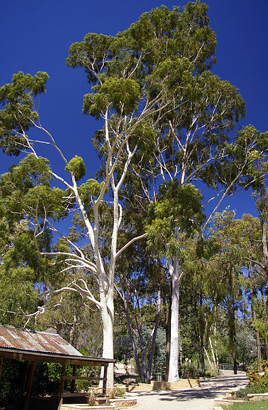 Photo of Lemon Scented Gum Trees courtesy of Bidgee at Wikimedia