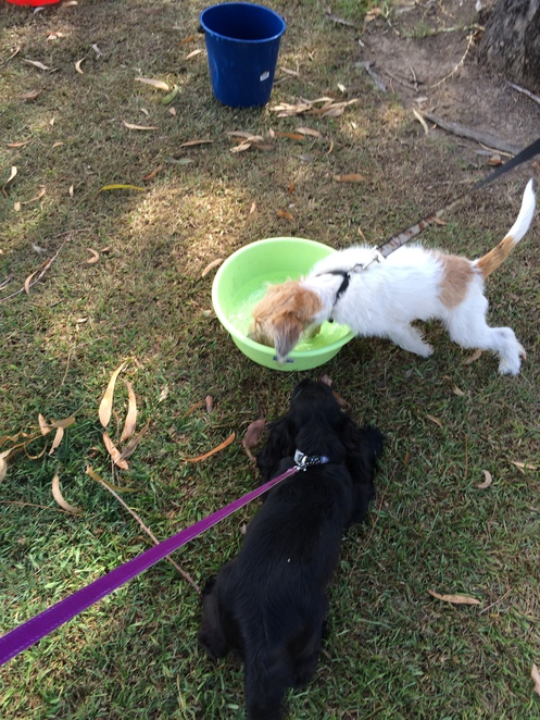 dog puppy obedience socialisation training