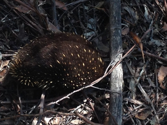 echidna Mt Field National Park