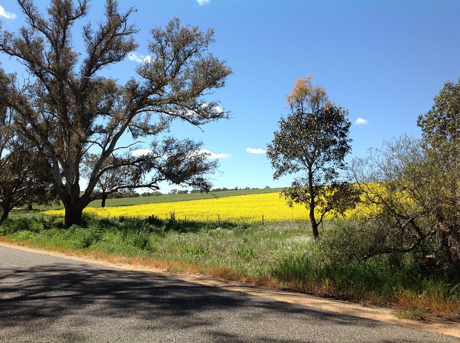 Fields of gold canola crops