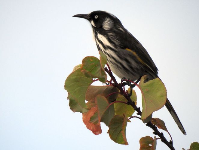 Free Guided Walks in Adelaide Parklands, free guided walks, adelaide parklands, parklands, adelaide, free, gold coin donation, appa, Adelaide Parkland Preservation Association, new holland honeyeater