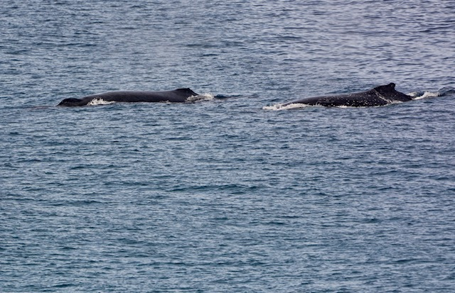 Humpback whales migrating past Frenchman's Beach