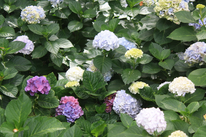 Hydrangeas in all kinds of colours – photo Jenny Esots
