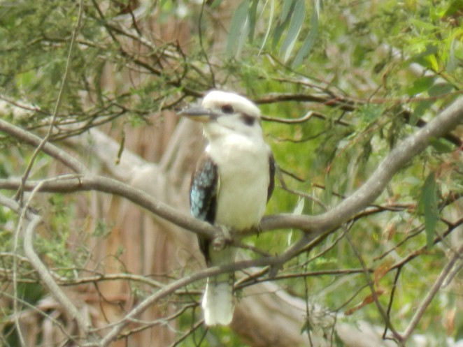 kookaburra, jells park, jells lake, birdwatching, parks in melbourne, lakes in melbourne, birdwatching in melbourne, birding, australian birds,