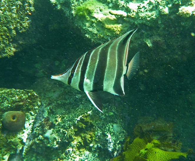 South Australian wildlife, South Australian tourism, Wildlife photography, Victor Harbor, The Bluff, Butterfly fish
