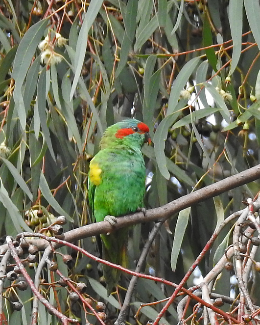 South Australian wildlife, South Australian tourism, Wildlife photography Wildlife stories, Regency Park Golf Club, Regency Park, musk lorikeet