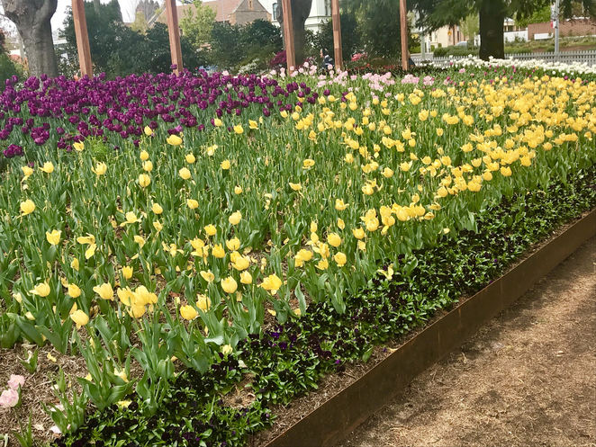 Tulips at Corbett Park, Bowral