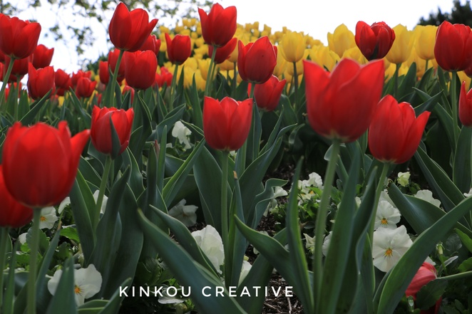 Tulips,Tulip time, bowral, flowers,blooms