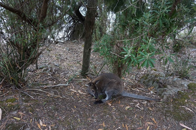 Wallaby welcome to Fortescue Bay