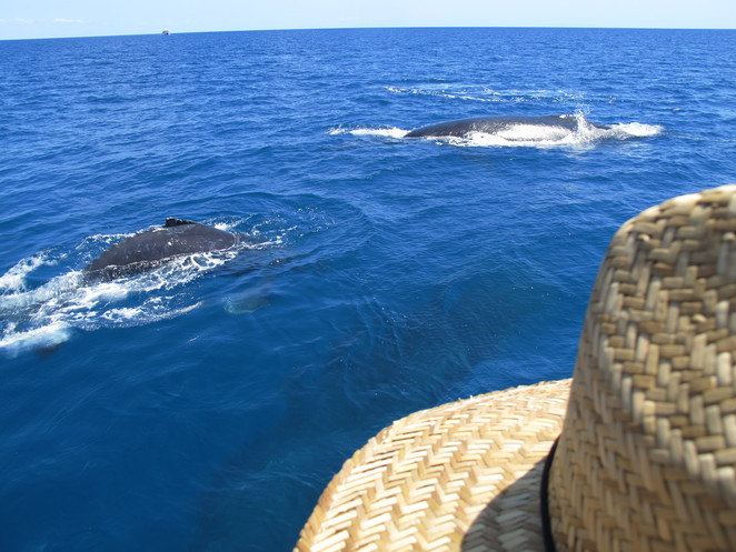 whale attaching, hervey bay, tours