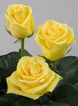 The Zonta Yellow Rose