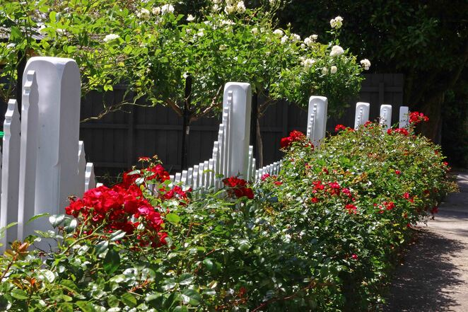 fence and roses.