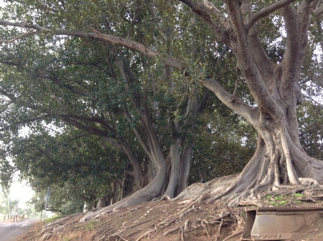 Gawler, Moreton Bay fig tree