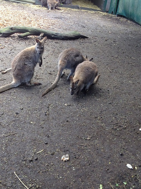 Jirrahlinga, wildlife park, wildlife sanctuary, barwon heads, bellarine peninsula, bellarine peninsula attractions