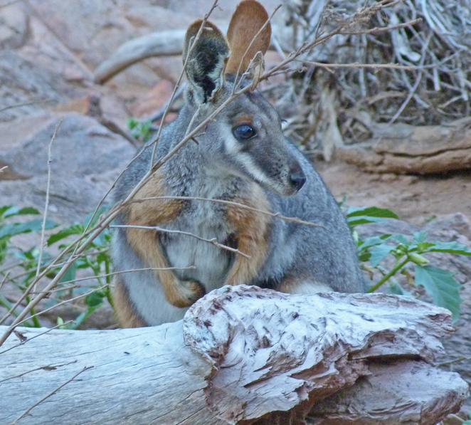 South Australian wildlife, South Australian tourism, Wildlife photography Wildlife stories, Arkaroola, outback, yellow footed rock wallaby