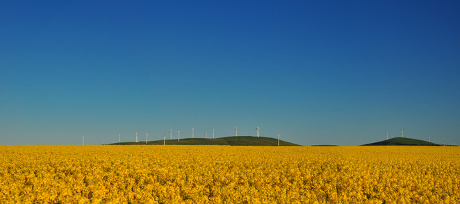 Endless fields of Canola