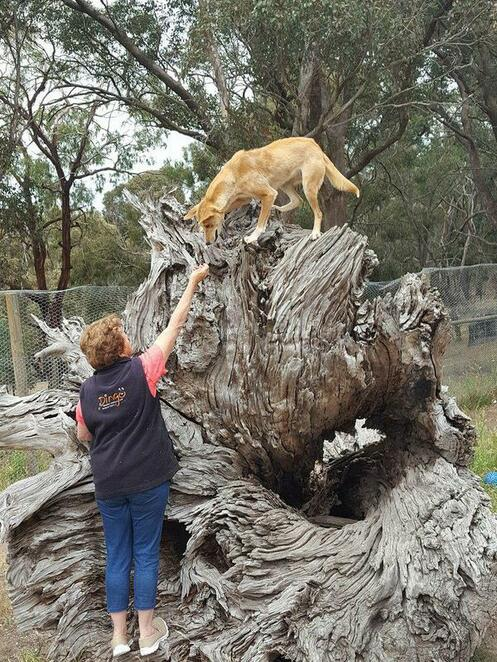 dingo, discovery, sanctuary, tickets, encounter, toolern vale, puppy, study, melbourne, experience
